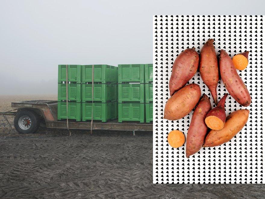 ramassage de la patate douce