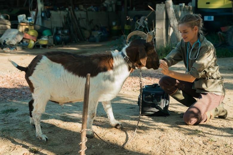 Vétérinaire ausculte chèvre