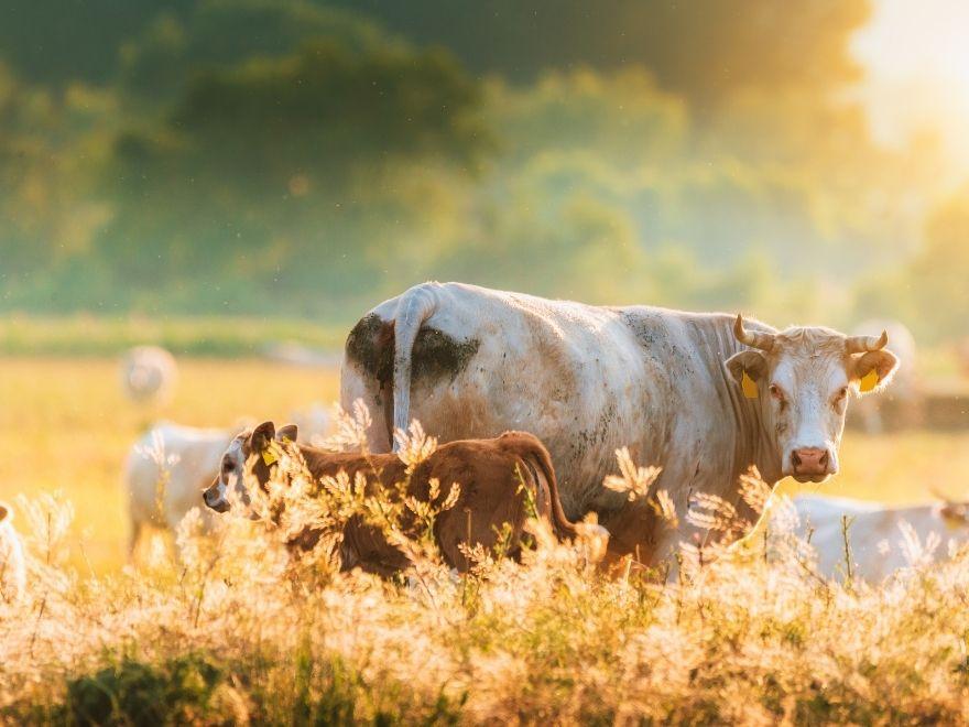 Une vache dans un prés