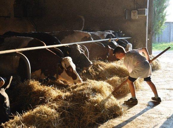 Jeune fermier donne du foin à des vaches