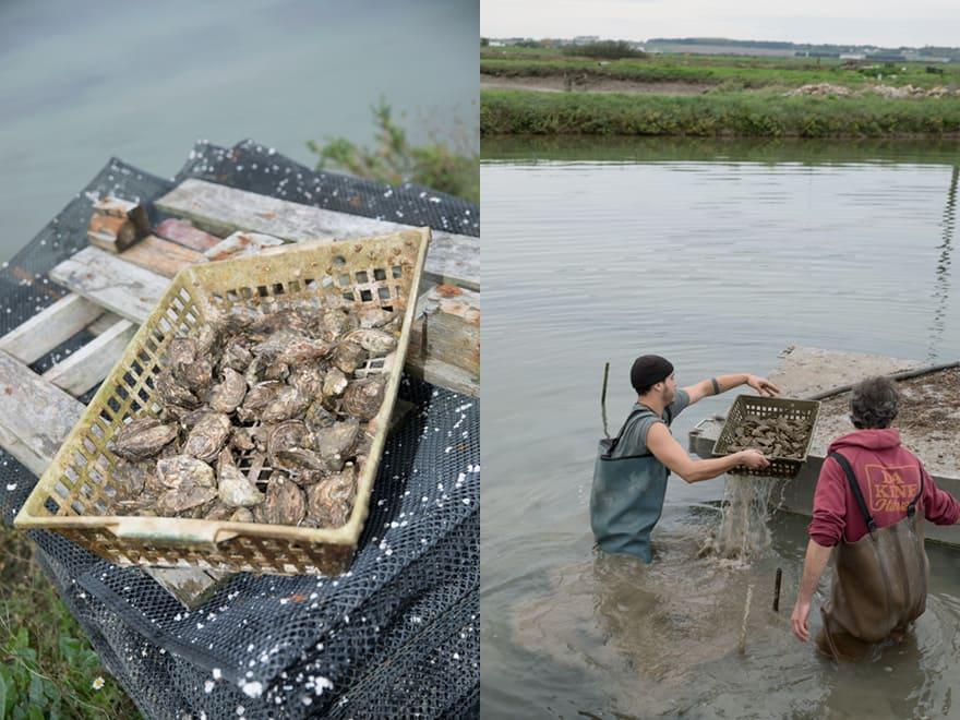 Pêche aux huîtres naturelles à Marennes