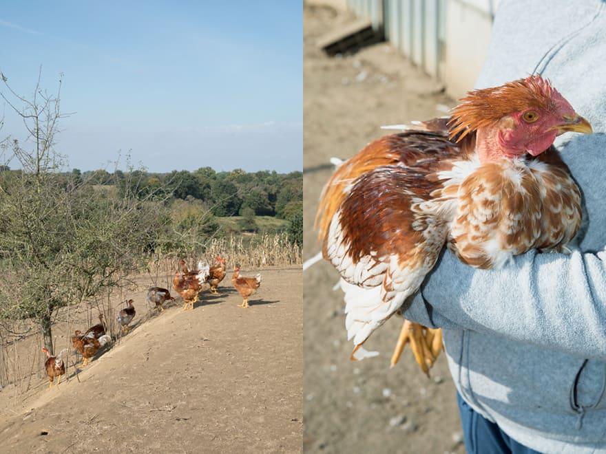 Ferme de Pillon, élevage de poulets dans les Landes