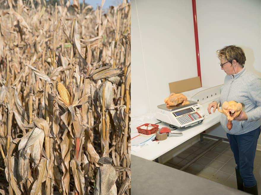 Pesage de poulets fermiers et un champ de maïs