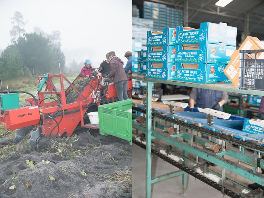 Récolte de patates douces en Gironde
